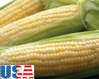 USA SELLER Golden Bantam Yellow Sweet Corn 25-200 seeds HEIRLOOM