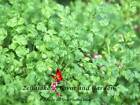 Winter Chervil Seeds Pick 400 to 1/2 LB FREE SHIP Open Pollinated Heirloom 184