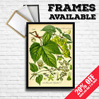 HOP PLANT Hops Humulus Beer Brewing Wall Art Print Poster Home Decor A3/A4 FRAME
