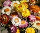 Strawflower Tall Mix Seeds Pink Yellow White Orange Red Cut or Dry Flowers #118