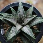 Aloe Vera Seeds Rare Herb Seeds Cosmetic Bonsai Succulent Plants Seeds BRCE 01