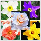 100pcs Bonsai Narcissus daffodil flower seeds Absorption Radiation aquatic plant