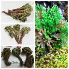 Live Resurrection Plant Rose Of Jericho Dinosaur Plant Air Fern Spike Moss Lot