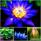 Lotus flower seeds plants aquatic water lily flowers seed plants for Home Garden