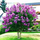 20 Pcs Cheap Home Plants Heirloom Seed Crape Myrtle Bonsai Flower Seeds Garden S