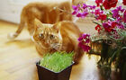 Cat Grass, Barley Seed, For Sprouting, Jucing , Malting, FREE SHIPPING