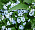 FORGET ME NOT Myosotis Sylvatica Bulk  Flower Seeds + Free Seeds