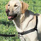 Show Dog No Pull Terrier Bull Dog Nylon Adjustable Harness Professional Trainer
