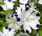 NEMOPHILA INSIGNIS SKYBLUE BUTTERCUP TYPE SEEDS FREE POST