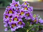 SCHIZANTHUS PINNATUS BUTTERFLY ORCHID FLOWER SEED APPROX.900 SEEDS PER GRAM