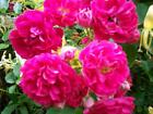 HOT PINK ROSE BUSH / SHRUB OLD FASHIONED HEIRLOOM FRAGRANT ROOTED PLANT