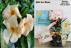 Mandevilla All Included GIFT Package Apricot Lot Of 2 Starter Plants