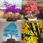 20pcs/Pack Maple Seeds Bonsai Acer Tree Seeds Garden Rare Color Plant DZ88 02