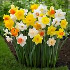 Home Garden Most Popular Daffodil Collection Perennial Plant Flower Seed Zone3-9