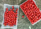 2500 Red Coral Wood Seeds Adenanthera Pavonina Lucky Seed Bead Tree Red Sandal