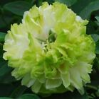 China Peony Roots Resistant Perennials Flower Fragrant Stunning Plant Green Halo