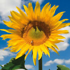 SUNFLOWER MONGOLIAN GIANT OR TEDDY BEAR DWARF   TWO TYPES OF SEED TO CHOOSE