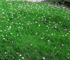 IRISH MOSS PEARLWORT Sagina Subulata Ground Cover Bulk Flower Seeds + Free Seeds
