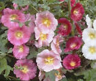 HOLLYHOCK SINGLE MIX Alcea Rosea Bulk Flower Seeds + Free Seeds