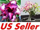 1 PC Desert Rose Seed, White Red B39, Violetcity Rosy B90, Rare Flower Seeds