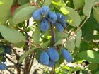 Honeyberry 9cm Soft Fruit Plants Top Quality Lincolnshire Grown