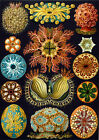 Ernst Haeckel Art Forms in Nature New Repro Print/Poster #4 Giclee Archival Ink