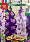1 Package 6 Gladiolas Bulbs Hand Selected Quality Size 8/10