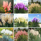 100Pcs Pampas Grass Seeds Cortaderia Selloana Flower Rare Reed Garden Plant