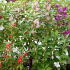 BALSAM FLOWER GARDEN SEEDS - MIXED COLORS - PINK, ROSE & WHITE - ANNUAL BLOOMS