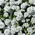 CANDYTUFT IBERIS FLOWER GARDEN SEEDS - DWARF FAIRY MIXTURE - ANNUAL GARDENING