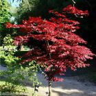Acer palmatum Atropurpureum  fresh seeds good for Bonsai or specimen Tree