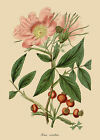 Rosa carolina - botanical flower print in 3 sizes
