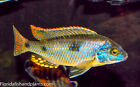 Naevochromis chrysogaster African Cichlid 1.5 in FREE OVERNIGHT SHIPPING
