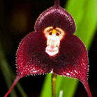 FD1402 10 Seeds Fresh Rare Red monkey Face Orchid Seeds Beautiful Flowers seeds