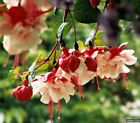 FD1405 Rare! Fuchsia Seeds Fuchsia Lantern Flower Seeds ~10 Seeds~ Hot Cool