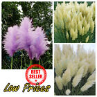 500 Pcs Rare Purple Yellow White Pampas Grass Seeds Ornamental Plant Flower Glow