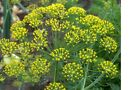 Dill, Bouquet Fresh hand packaged non-GMO seeds
