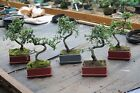 Bonsai Tree Indoor / Outdoor Individually Photographed
