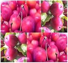 Malus x Ranetka apple seeds good for root stock