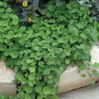 Outsidepride Dichondra Emerald Falls Ground Cover Seed