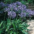 Outsidepride Lily of the Nile Flower Seeds