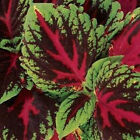 Outsidepride Coleus Kong Red Flower Seeds