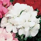 Outsidepride Geranium White Flower Seeds