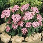 Outsidepride Pentas Pink Flower Seeds