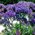 Outsidepride Statice Blue Flower Seeds