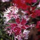 Outsidepride Dianthus Superbus Spooky Flower Seeds