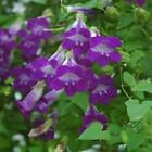 Outsidepride Violet Asarina Flower Seeds