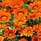 Outsidepride Gazania Garden Leader Bronze Flower Seeds