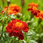 Outsidepride Marigold Red Flower Seeds