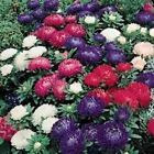 Outsidepride Aster Milady Mix Flower Seeds